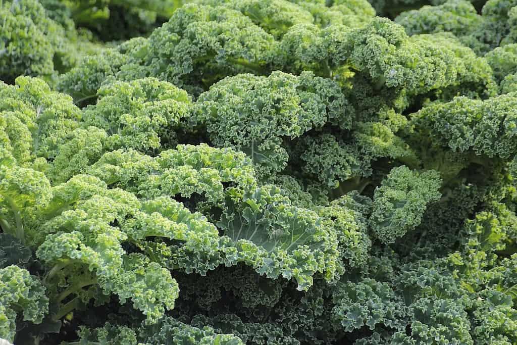 Wintergemüse Grünkohl – Gestärkt durch die dunkle Jahreszeit.